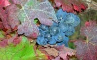 wines_grapes